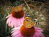 Seeing Double (Hannah Underhill) Tags: insect wildife nature thedixongalleryandgardens butterfly summer tennessee closeup natural details flowers gardening distelfalter