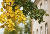 Yellow | Autumn 2017 #263/365 (A. Aleksandravičius) Tags: tree lithuania autumn green macro lietuva leaf leaves bokeh zenitmchelios40285mmf15 zenit helios helios402 old russianlens nikon nikond750 d750 85mm 365days 3652017 365 project365 263365