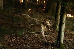 IMG_0966 (bia93snow) Tags: jump salto englishsetter setteringlese bosco woods walk passeggiata freedom fly