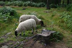 Derbyshire Gritstone sheep (Blue Sky Pix) Tags: sheep derbyshiregritstone stantonmoor birchover peak district national park moorland bracken roamingfree derbyshire england pentax