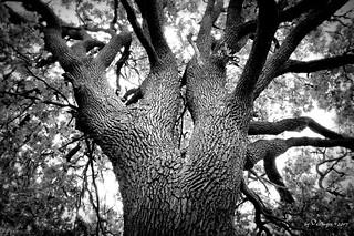 the old oak / die alte Eiche
