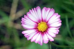 Pink (katjacarmel) Tags: bloem pink nature natuur outside grass green bloom colors