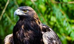 Golden Eagle at NW Trek (FlintWeiss) Tags: washington 60d 2017 canon nwtrek ef100400f4556lisiiusm wa