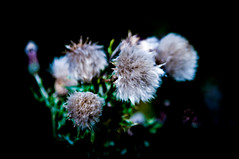 Thistle Tufts (Brian Travelling) Tags: national nationalflower flower tuft tufts fluffy pentax scotland