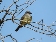 Cassin's Kingbird, Tyrannus vociferans (bruce_aird) Tags: