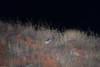 On the prowl... (Pim Stouten) Tags: cat feline predator xaus wildekat wildcat africanwildcat raubtier roofdier felissilvestrislybica neareasternwildcat vaalboskat falbkatze afrikaansewildekat kalahari kgalagadi hunt jacht jagd