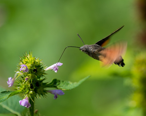 Hummingbird hawk-moth / Macroglossum stellatarum