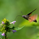 Hummingbird hawk-moth / Macroglossum stellatarum thumbnail