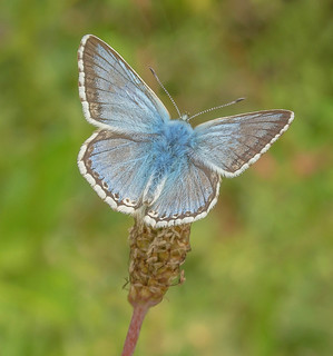 JWL6971  Chalkhill Blue..