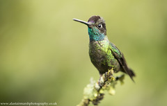 Magnificent Hummingbird (Alastair Marsh Photography) Tags: magnificenthummingbird magnificent hummingbird hummingbirds bird birds portrait iridescent iridescence animal animals animalsintheirlandscape wildlife smallbird smallbirds feathers feather costarica centralamerica latinamerica jungle pacific clouds cloudforest forest rainforest tropical