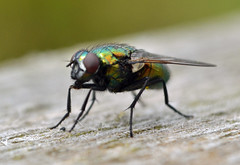 its flyday (conall..) Tags: green fly fdf flydayfriday greenbottle neomyia viridescens neomyiaviridescens