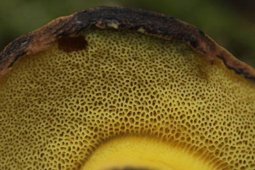 Ink Stain Bolete - Cyanoboletus pulverulentus