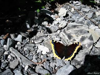 Butterfly 1417