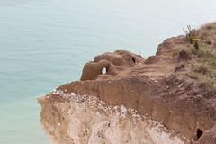 Digging on the edge (Sven Bonorden) Tags: rabbit kaninchen hole loch höhle felsen kreidefelsen rock cliff chalk chalkcliff sea meer ground hoch high beachyhead eastbourne eastsussex england grosbritannien greatbritain canon
