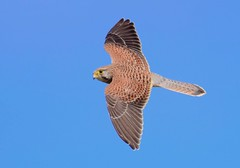 Kestrel (Falco tinnuncalus), at Aldwincle, Northants UK (Ian J Hicks) Tags: