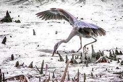 Tamron 18-400mm: Strike! (KWPashuk) Tags: blue heron nikon d7200 tamron18400mm lightroom nikcollection kwpashuk kevinpashuk bird wildlife feeding outdoors nature royalbotanicalgardens burlington ontario canada