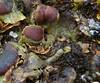 Solorina crocea (davidgenneygroups) Tags: lichen solorina crocea solorinacrocea montane foliose fertile terricolous lichenicolous fungus unidentified stigmidium
