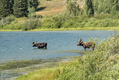 232-2017-365 Moose at Two Oceans Lake (Explored) (graber.shirley) Tags: yelleclipse