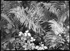bergheil-06092017-5 (salparadise666) Tags: voigtlander bergheil 9x12 orange filter fomapan 10050 caffenol rs 14min voigtländer nils volkmer large format nature landscape floral bw black white monochrome vintage film camera plate view analogue