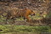 Königstiger (uwizisk) Tags: bengaltiger india indien indischertiger königstigerpantheratigristigris ranthambhorenationalpark royalbengaltiger tigerpantheratigris