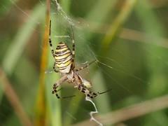 Argiope (Phil Arachno) Tags: kühkopf spider arachnida argiope hessen arthropoda germany spinne chelicerata deutschland