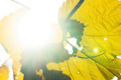 Sunny (Daniel Kulinski) Tags: daniel danielkulinski europe image kulinski photograhy picture poland samsungnx autumn day fall green light photography plant sun yellow opypy mazowieckie pl closer close up