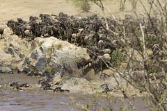 Migracao GNU - Travessia do Rio Mara 13 (Joao Pena Rebelo) Tags: tanzania gnus wildebeest migration safari serengeti wildebeests marariver