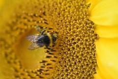 Pollenparadies     -explored 08.09.2017- (chrissie.007) Tags: yellow gelb hummel blüte