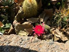 21,706 (joeginder) Tags: jrglongbeach marina cactus flower red longbeach