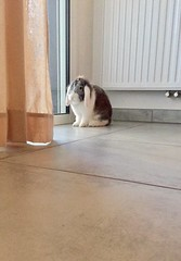 When i'm so sad because Mom does not want me to eat bamboo.... (gosselinclara) Tags: cute mignonne female femelle ears oreilles bébé baby fourrure fur nez nose rabbit bunny lapin