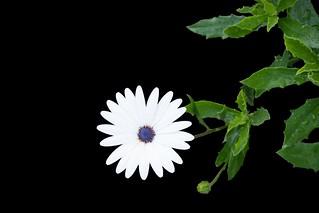 Osteospermum Glistening White