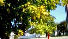 A touch of Autumn - TMT (Maenette1) Tags: autumn maple tree yellow green neighborhood menominee uppermichigan treemendoustuesday flicker365 michiganfavorites 52weeksofphotographyweek42