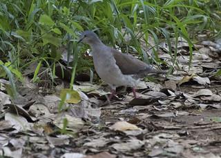 Leptotila plumbeiceps / Gray-headed Dove
