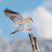 White-winged Dove (Melissa James Photography) Tags: zenaidaasiatica whitewingeddove dove birdinflight birdlanding arizona searizonabirding