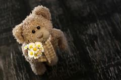 Für dich! (fotospoekes) Tags: teddy bär bear teddybär nopf blümchen geschenk fotospoekes cute gänseblümchen humor spas kuscheltier fun blumenstraus liebe niedlich