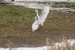 Egret ascendancy (Egretta garzetta) (Baldyal) Tags: bird bif wildlife venuspool shropshire