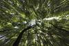 vanishing point (Thomas Sobottka) Tags: lookingup upward wideangle green arashiyamabamboogrove bamboo bambus foliage calm peacefull light trees