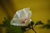 Rose of Sharon_0160 (smack53) Tags: smack53 rose roseofsharon flower bud blossoms blooming bokeh westmilford newjersey summer summertime macro closeup nikon d100 nikond100