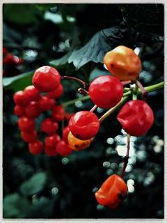 •Autumn red berries