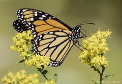 Monarch (Danaus plexippus) (dhollender) Tags: blueheronfarm monarchdanausplexippus butterfly insect wildflowers