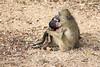 Baboon with baby (mayekarulhas) Tags: krugerpark mpumalanga southafrica za baby baboon wild wildlife canon