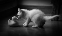 Do you play with me ? (JACRIS08) Tags: cat bw kitten
