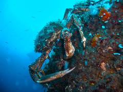 Centollo (SergioFresnedaBosch) Tags: centollo submarinismo naturaleza cangrejo