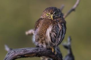Northern Pygmy-Owl / Chevêchette des rocheuses