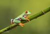 Red-eyed tree frog D75_7175.jpg (Mobile Lynn) Tags: amphibian frog nature redeyetreefrog captive agalychniscallidryas fauna wildlife bournemouth england unitedkingdom gb coth specanimal coth5 ngc npc