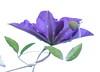 Clematis (haberlea) Tags: garden mygarden clematis white onwhite flower purple green