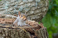 Lookout (shaftina©tion) Tags: gray grey greysquirrel mammalia oak rodentia rodents sciuridae sciuruscarolinensis squirrel squirrels agile arboreal bushytail dray drey fur looking mammal nest nesting observing peeping rodent tree watching