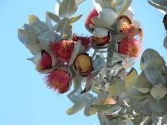 105_Perth_027_20151104_DSCN3503.jpg (urma2004) Tags: diashow länder australien bestimmen erlnichtweb erlweb flora kingspark westernaustralia