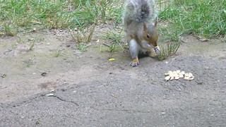 Grey squirrels VS wild rabbit