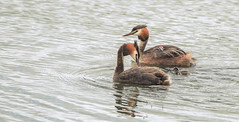 Great Crested Grebe Family (Osgoldcross Photography) Tags: grebe greatcrestedgrebe mere birds family young chicks stripy crest rspb rspboldmoor nature natural ings d810 raw bird wathingshide summer reflection eyes beak head carrying explore explored interestingness